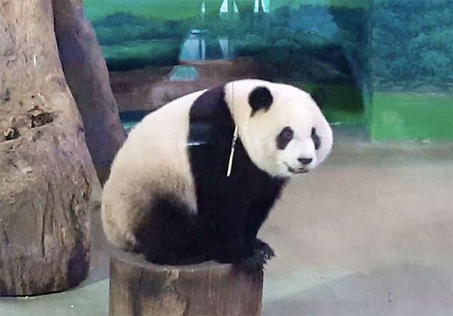 panda_gigante